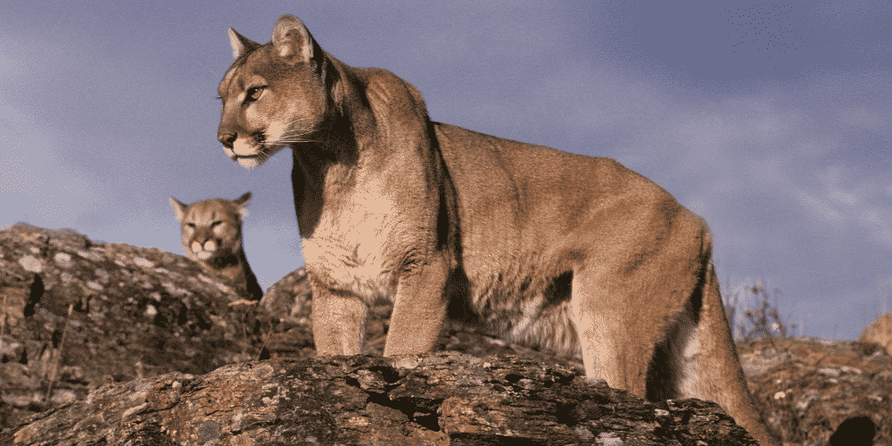what to do if you encounter a cougar